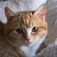 Domestic Shorthair Kitten for adoption in New City, New York - Kittens Available