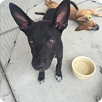 Adopt A Pet :: Tippy - San Angelo, TX