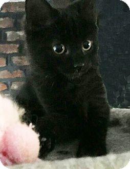 Domestic Mediumhair Kitten for adoption in N. Billerica, Massachusetts - Spree