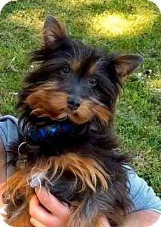 Yorkie, Yorkshire Terrier/Poodle (Miniature) Mix Puppy for adoption in Hockessin, Delaware - Willie