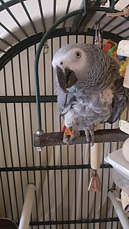 African Grey for adoption in St. Louis, Missouri - Groucho