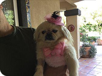 Pekingese Dog for adoption in El Cajon, California - Cookie (in adoption process)