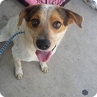 Australian Cattle Dog Mix Dog for adoption in Jarrell, Texas - Ledger