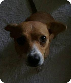 Chihuahua/Beagle Mix Dog for adoption in Macomb, Illinois - Monie