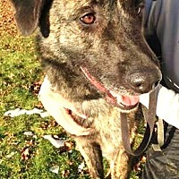 German Shepherd Dog/Plott Hound Mix Dog for adoption in Kirkland, Washington - Delaware: active, playful boy