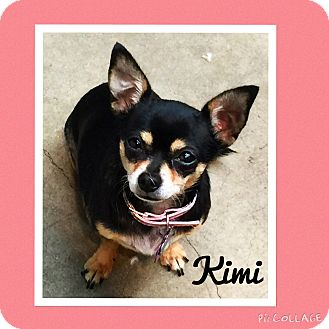 Chihuahua Dog for adoption in Santa Ana, California - Kimi (LM)