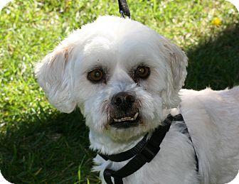 Lhasa Apso/Bichon Frise Mix Dog for adoption in Carlsbad, California - Anton