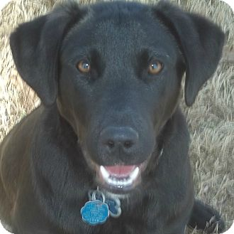Labrador Retriever Mix Puppy for adoption in Somers, Connecticut - Nixon