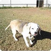 Adopt A Pet :: SkiLou - Phoenix, AZ