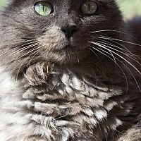 Domestic Longhair Cat for adoption in Tucson, Arizona - Uma
