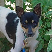 Terrier (Unknown Type, Small) Mix Dog for adoption in San Jose, California - Tinker