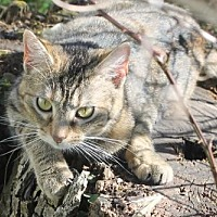 Domestic Shorthair Cat for adoption in Morehead, Kentucky - Molly ADULT FEMALE