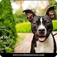 Adopt A Pet :: Grace - Lincoln, NE