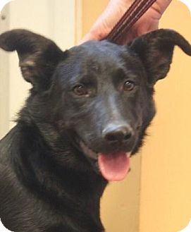 Shepherd (Unknown Type)/Labrador Retriever Mix Dog for adoption in Jewett City, Connecticut - Rowdy Chapman