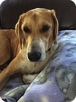 Labrador Retriever/Hound (Unknown Type) Mix Dog for adoption in Baltimore, Maryland - Buster