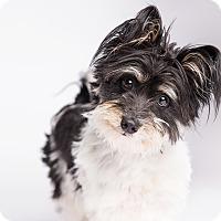 Adopt A Pet :: Tramp - Ogden, UT