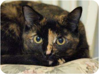 Domestic Shorthair Cat for adoption in Ocean City, New Jersey - Ava