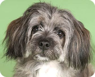 Lhasa Apso/Tibetan Terrier Mix Dog for adoption in Chicago, Illinois - Urchin