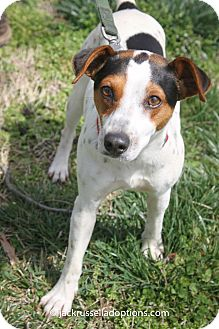 Jack Russell Terrier Dog for adoption in Conyers, Georgia - Corey