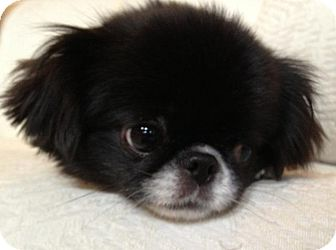 Shih Tzu/Japanese Chin Mix Dog for adoption in Eden Prairie, Minnesota - Bella Rose