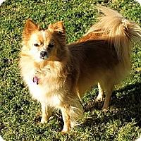 Adopt A Pet :: TINKER BELLA - Phoenix, AZ