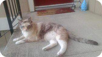 Siamese Cat for adoption in Sacramento, California - Caddy