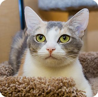 Domestic Shorthair Cat for adoption in Irvine, California - Lilly