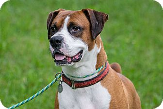 Boxer Mix Dog for adoption in South Park, Pennsylvania - Spatz