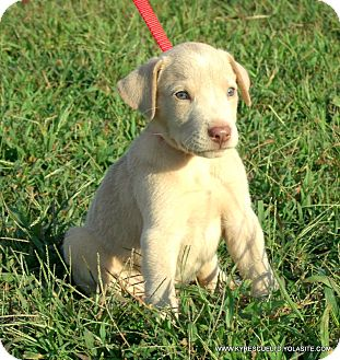 Labrador Retriever/Weimaraner Mix Puppy for adoption in Waterbury, Connecticut - Blitz/ADOPTED