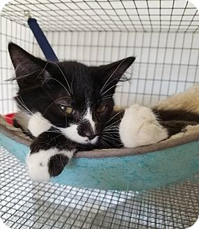 Domestic Mediumhair Cat for adoption in Umatilla, Florida - Joey