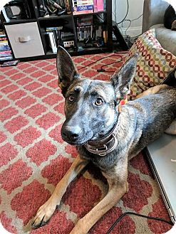 German Shepherd Dog Mix Dog for adoption in Mt. Airy, Maryland - Cagney