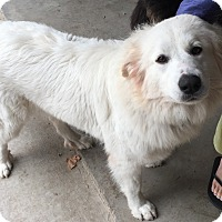 Great Pyrenees Dog for adoption in Kyle, Texas - Faith LGD