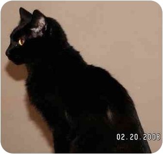 Domestic Shorthair Cat for adoption in Milford, Ohio - Blackie