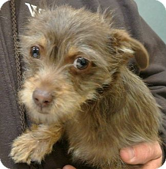 Terrier (Unknown Type, Small) Mix Puppy for adoption in white settlment, Texas - Sprout