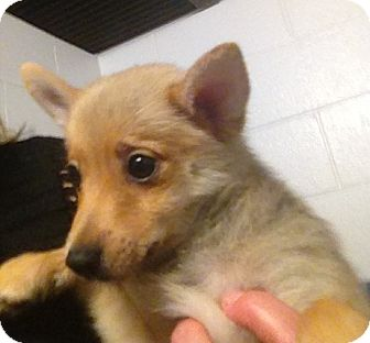 Pomeranian/Chihuahua Mix Puppy for adoption in Richmond, Virginia - Peter