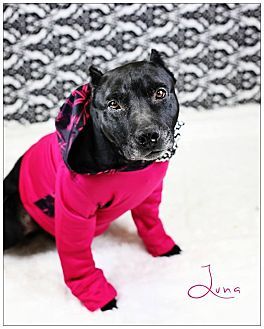 Pit Bull Terrier Mix Dog for adoption in Lake Charles, Louisiana - Luna