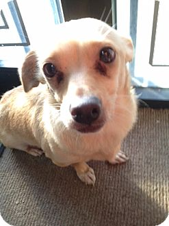 Corgi Mix Dog for adoption in Fresno, California - Bucky