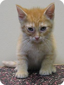 Domestic Shorthair Kitten for adoption in Gary, Indiana - Hank