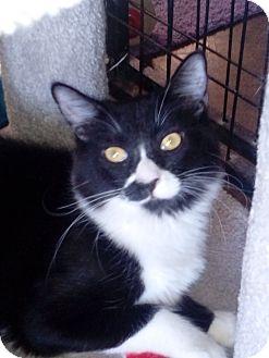 Domestic Shorthair Cat for adoption in Glendale, Arizona - Frankie