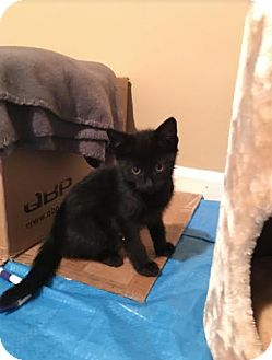 Domestic Shorthair Kitten for adoption in Chicago, Illinois - Mouse