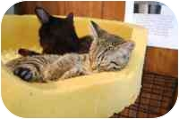 Domestic Shorthair Kitten for adoption in Grand Rapids, Michigan - Paco