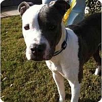 Adopt A Pet :: Chanel - Arlington, TX