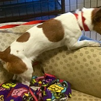 Jack Russell Terrier/Dachshund Mix Dog for adoption in Phoenix, Arizona - Rodger