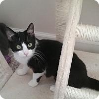 Adopt A Pet :: Sphinx - Cedar Springs, MI