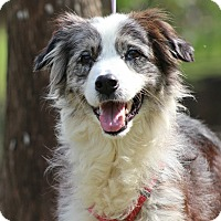 Adopt A Pet :: Sierra - SOUTHINGTON, CT