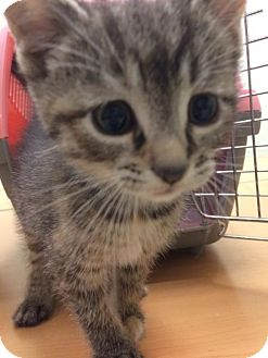 Domestic Shorthair Kitten for adoption in Northeast, Ohio - Maddie-Adoption Pending