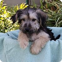 Adopt A Pet :: TYLER - Newport Beach, CA