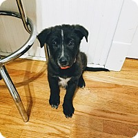 Border Collie/Labrador Retriever Mix Puppy for adoption in Chicago, Illinois - Mr. T