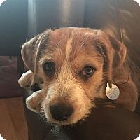 Adopt A Pet :: Nova - Knoxville, TN
