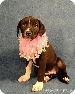 Mastiff/American Pit Bull Terrier Mix Dog for adoption in Lapeer, Michigan - Sarah
